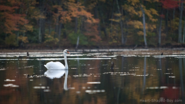 Stump Pond Swan