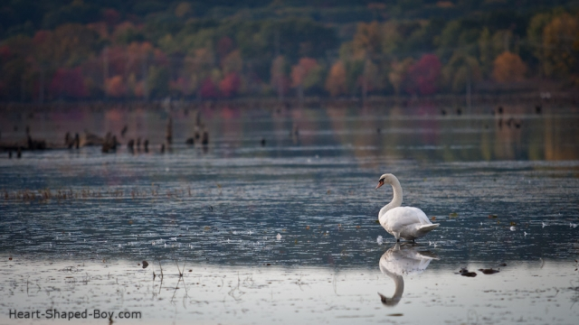 Stump Pond Swan II